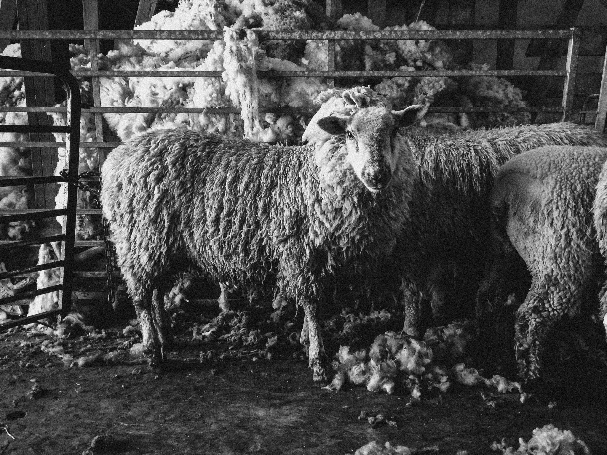 Wool makers. Pozzi Lamb Ranch Valley Ford, CA